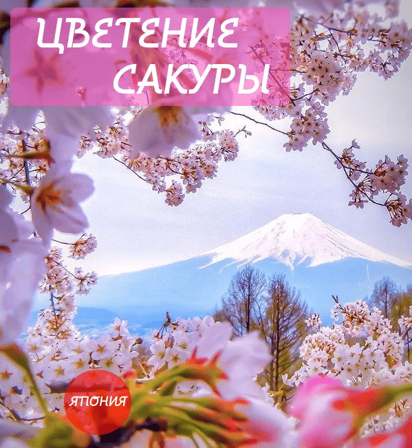 Japan_cherry blossom